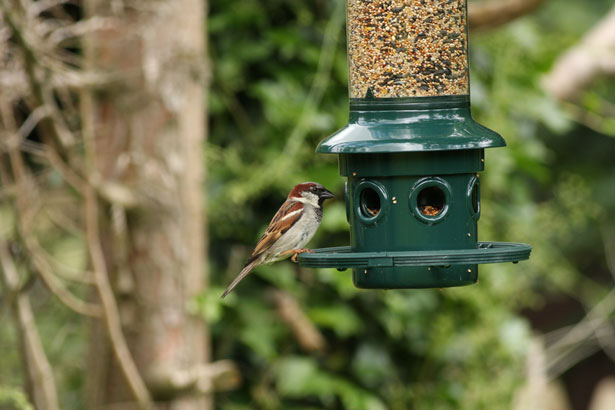 sparrow-at-bird-feeder image