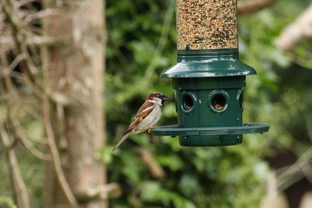 sparrow-at-bird-feeder image